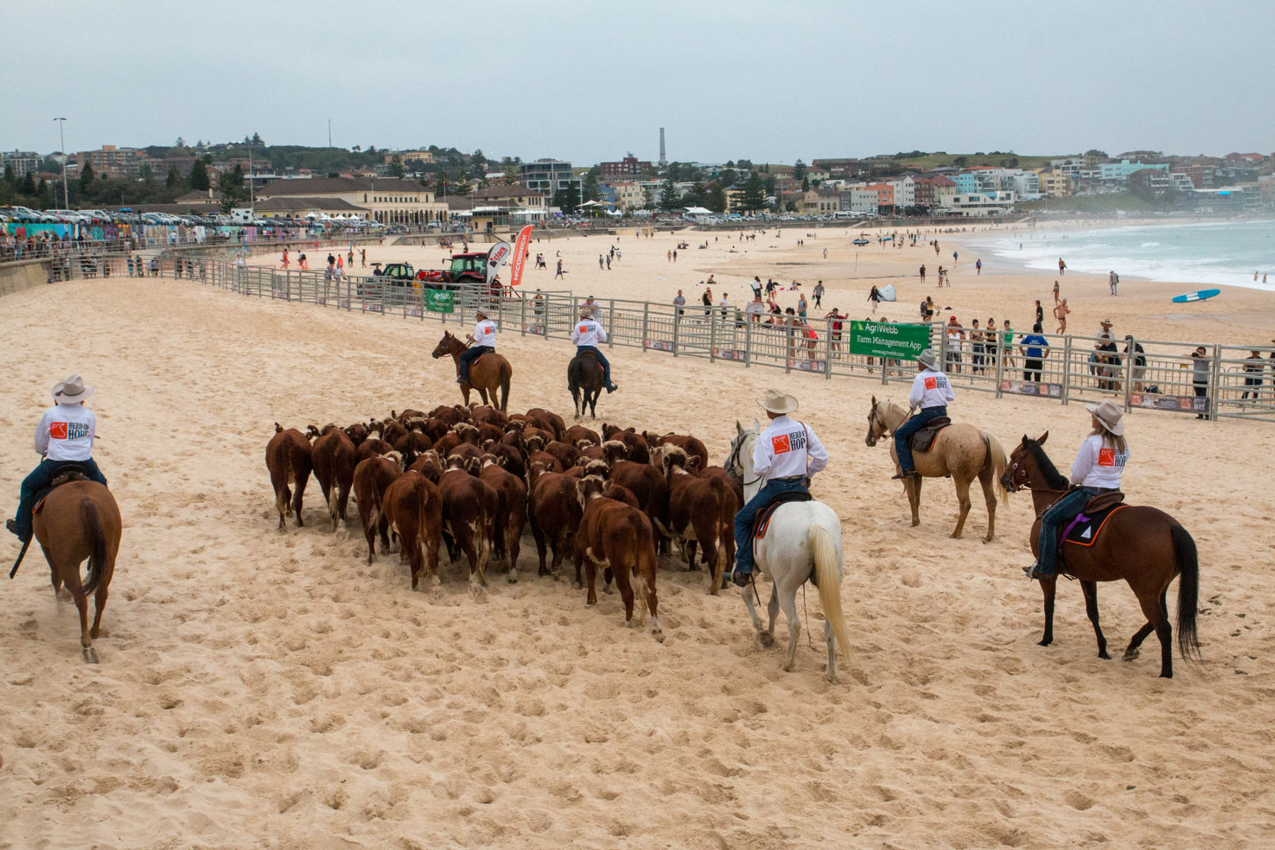 Bondi Beach Cattle Drive